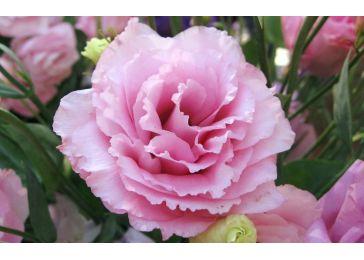 Эустома Цесна Роуз