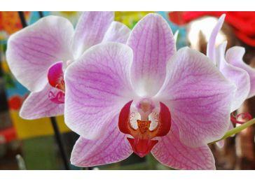 Орхидея Фаленопсис Гигантский