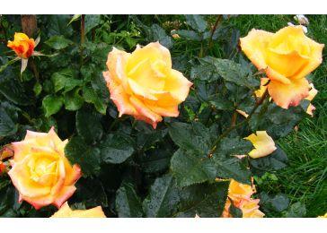 Роза аальсмеер голд