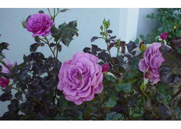 Роза Африка Стар