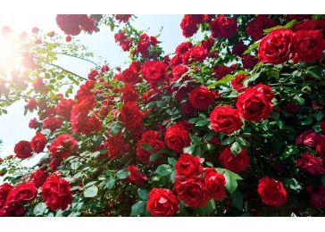 Роза Аида