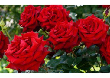 Роза Алекс Ред