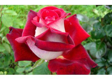 Роза Аллилуйя