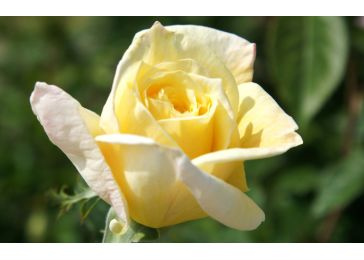 Роза Аполло