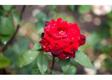 Роза баркароле