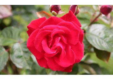 Роза Дам де кер