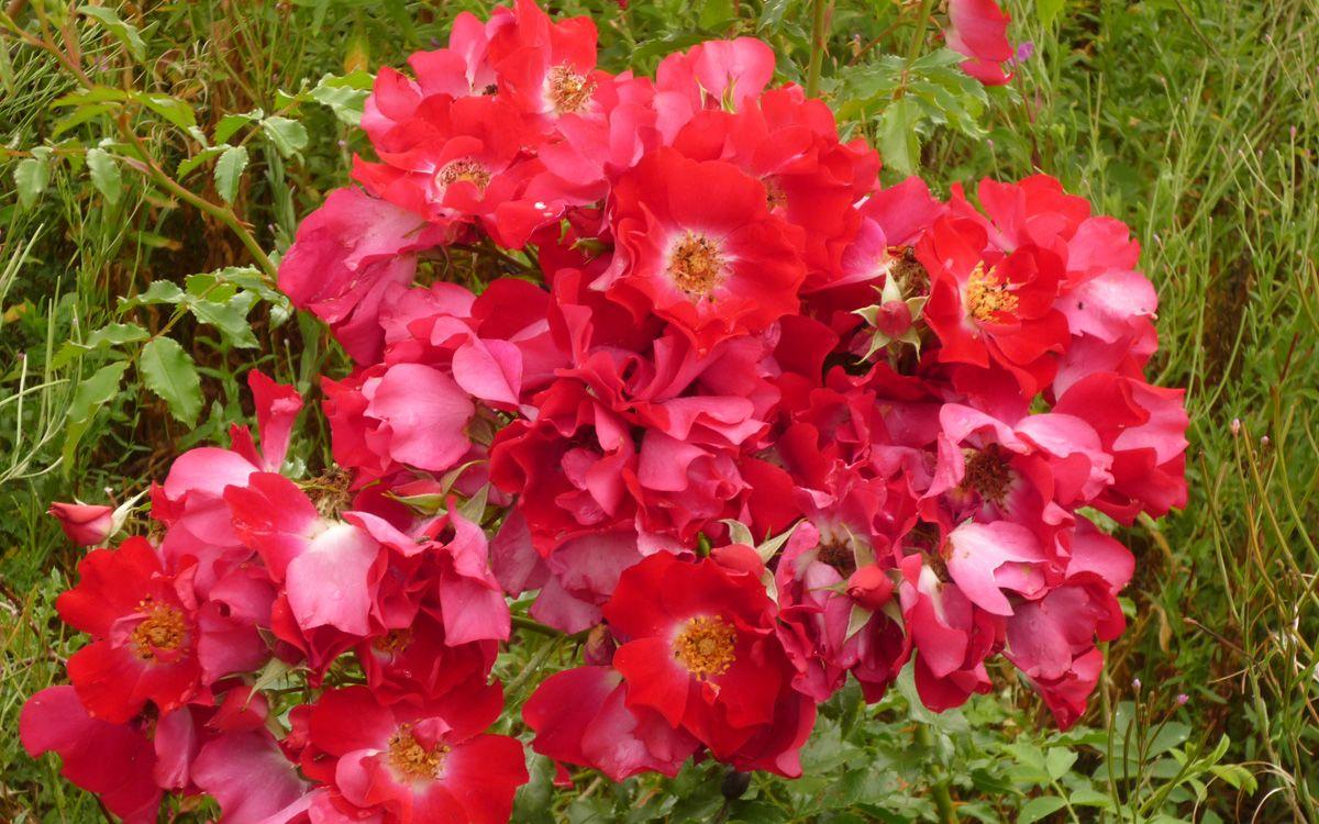 Шрабы (розы): описание и фото. Полуплетистые розы