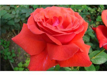 Роза дуфтвольке