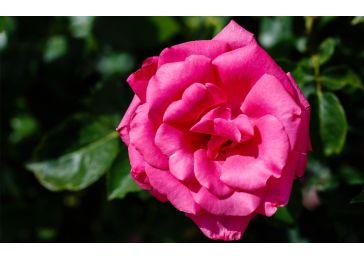Роза ланком