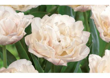 Тюльпан Мотре