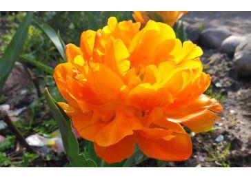 Тюльпан Орка