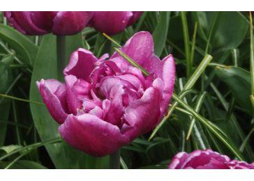 Тюльпаны дабл флэг
