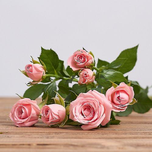 """Голландская кустовая роза """"Одилия"""""""