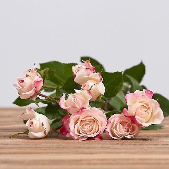 "Голландская кустовая роза ""Рефлекс"""