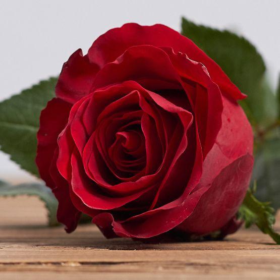 """Голландская роза """"Эксплорер"""""""