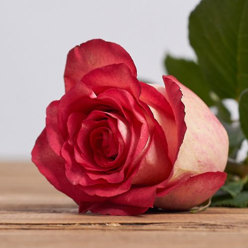 "Голландская роза ""Игуазу"""