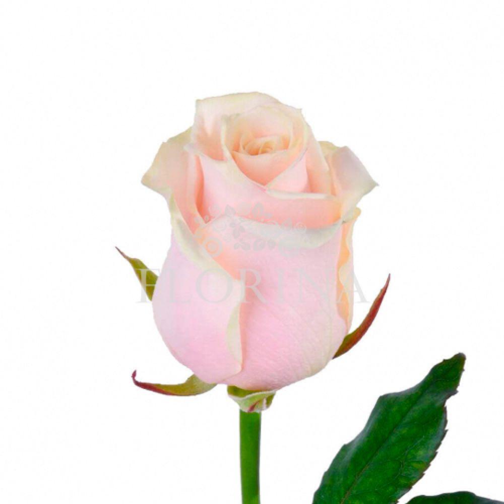 Цветов москве, розы цветы опт киев камелия