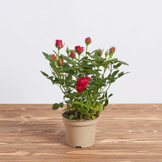 """Роза в горшке """"Красная"""""""