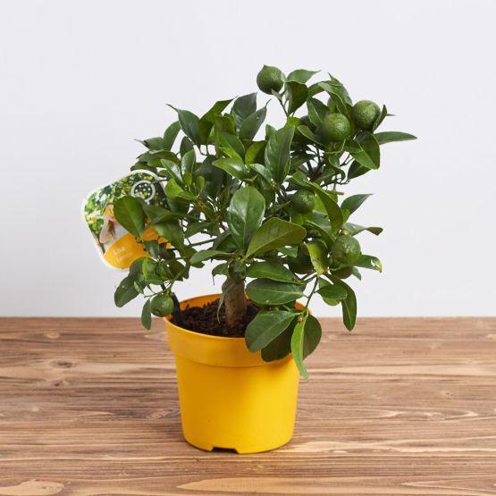 """Комнатный лимон """"Мейера"""""""