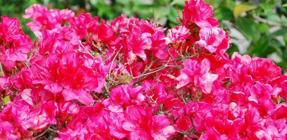 азалия цветок