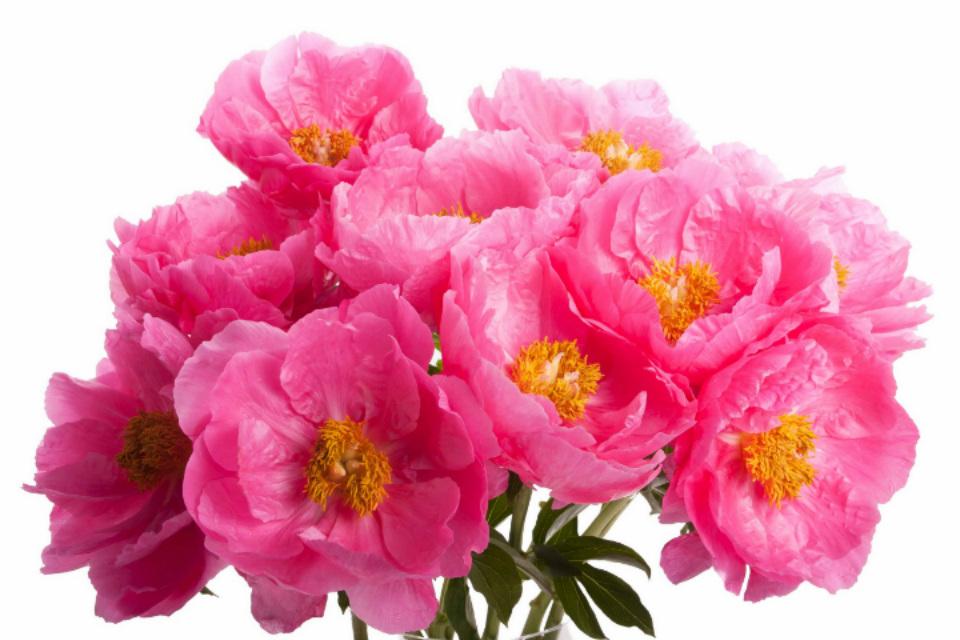 цветы пионы
