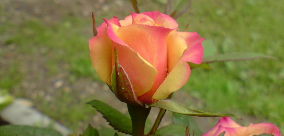 двухцветные розы
