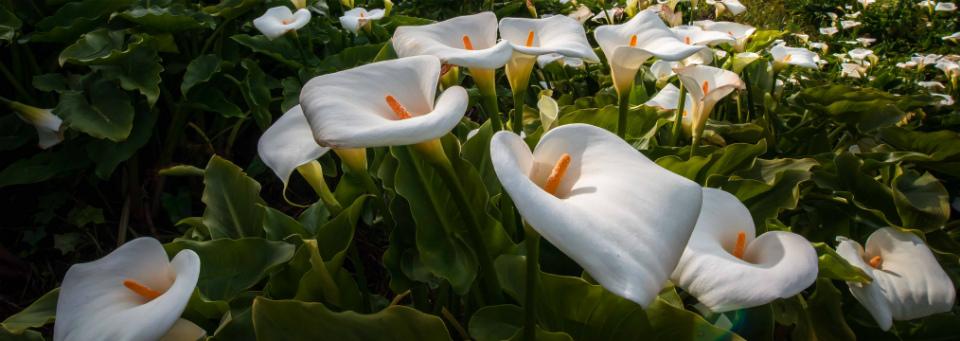 каллы значение цветка