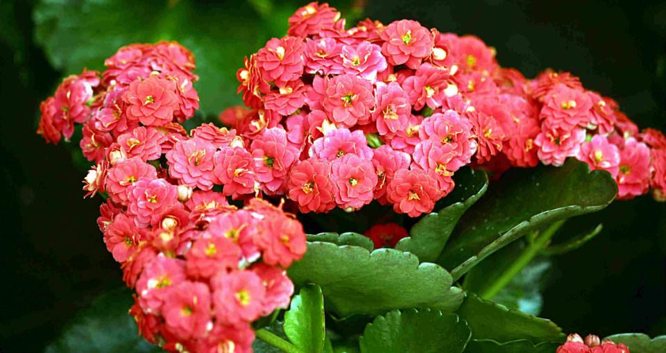 лечебный цветок каланхоэ