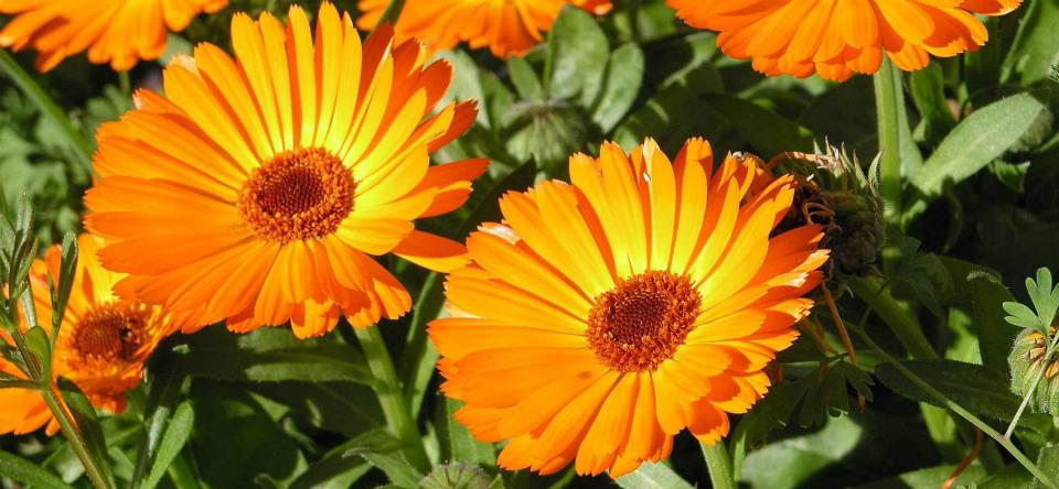 лечебный цветок календула