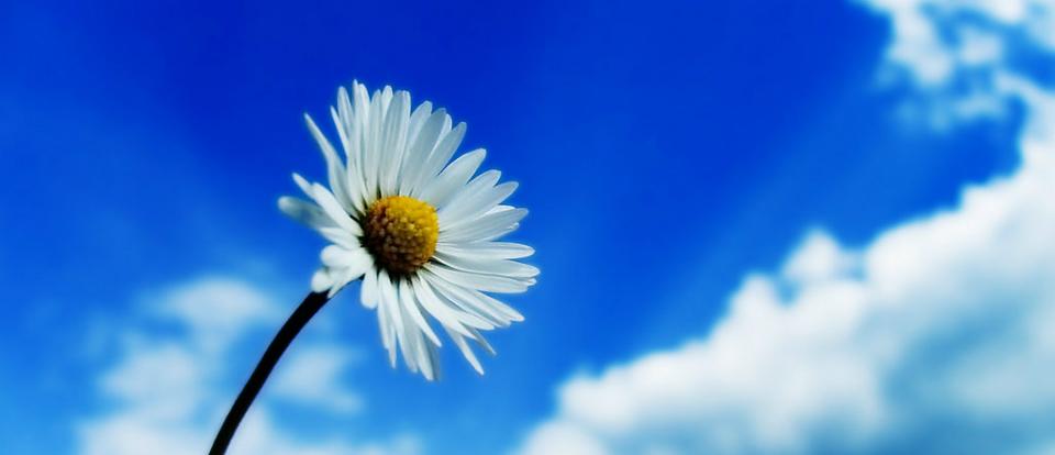лечебный цветок ромашка