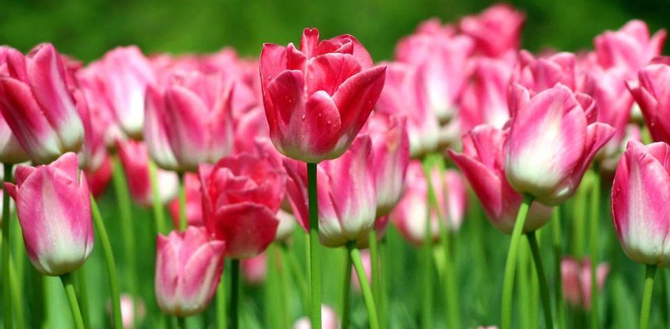 про цветок тюльпан