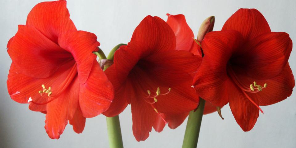 цветы амариллис
