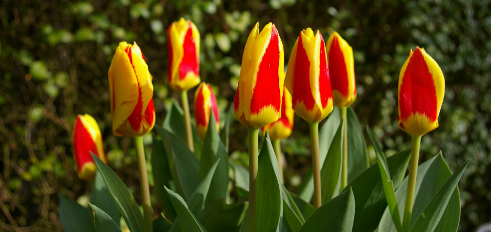 триумф тюльпаны