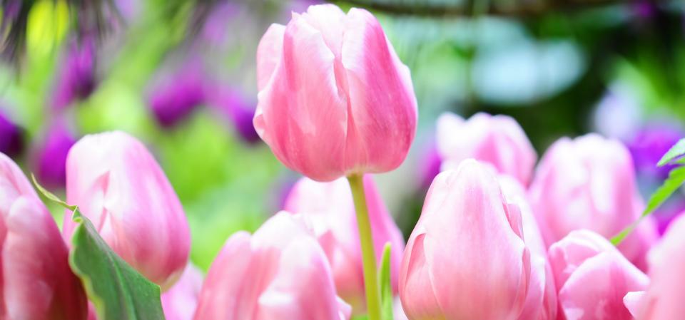 выращивание тюльпанов дома